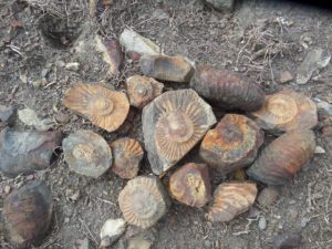Ammonite fossils -- Kshetra Shaligram (Mountain-born Shaligram)